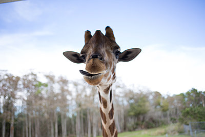 Giraffe - p1308m2057111 von felice douglas