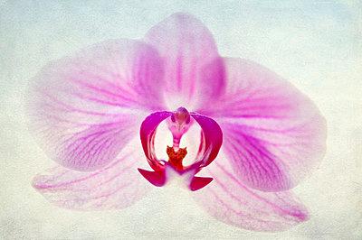 Rosa Blume - p1445m2125663 von Eugenia Kyriakopoulou