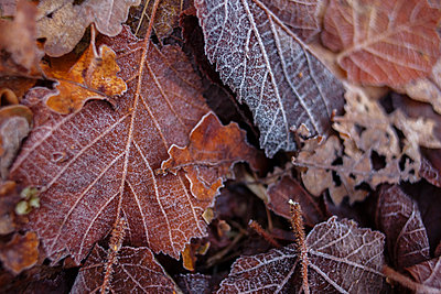 Frozen autumn leaves - p312m1471372 by Christina Strehlow