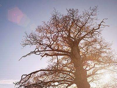 Giant sweet chestnut tree, (castanea sativa) in Yorkshire, low angle view - p429m1024242f by Monty Rakusen