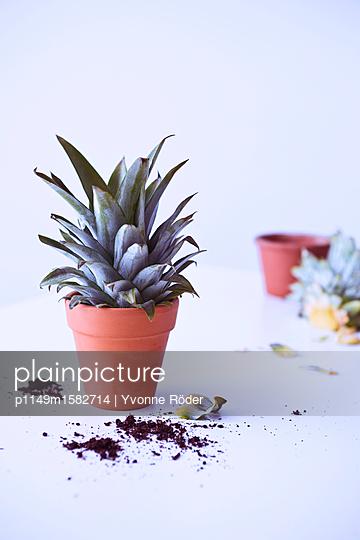 Ananas anpflanzen - p1149m1582714 von Yvonne Röder