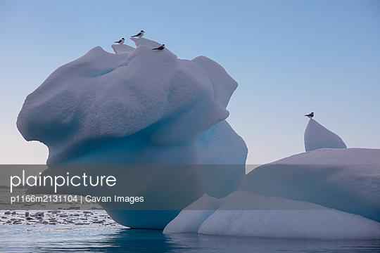 Antarctic Terns on iceberg - p1166m2131104 by Cavan Images