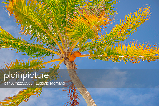 Polynesia, Tetiaroa, Coconut palm tree - p1487m2253935 by Ludovic Mornand