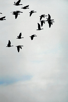 Geese flying, Iceland - p1028m1219052 by Jean Marmeisse