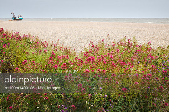 Red Valerian plants growing on a beach, fishing boat in the distance. - p1100m1490126 by Mint Images