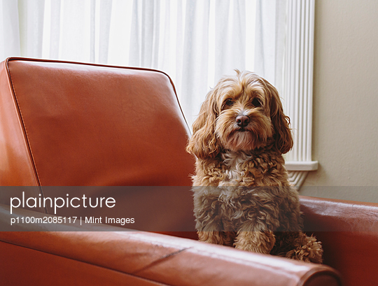 A cockapoo mixed breed dog, a cocker spaniel poodle cross, a family pet with brown curly coat sitting on a chair - p1100m2085117 by Mint Images