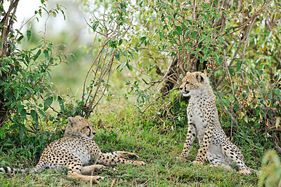 Two young cheetahs - p533m1225548 by Böhm Monika