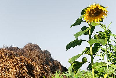 Sonnenblume wächst neben dem Misthaufen - p533m2065581 von Böhm Monika