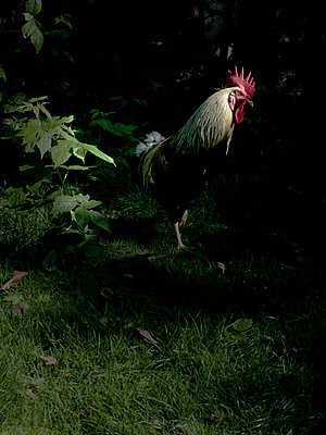 Rooster at twilight - p1279m1222283 by Ulrike Piringer