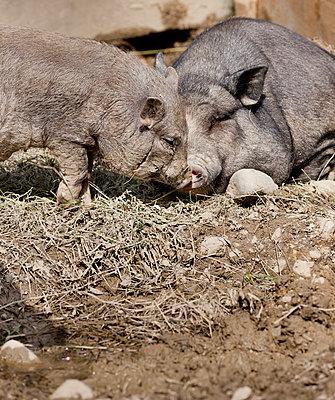 Wildschwein mit Jungtier - p248m916534 von BY