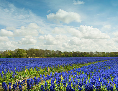 Purple hyacinth field - p429m819796 by Mischa Keijser