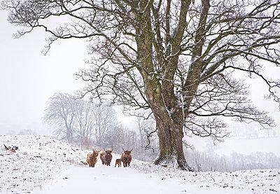 Herd of mountain nyalas (Tragelaphus buxtoni) (Balbok), Bale Mountains - p871m821282 by Lizzie Shepherd