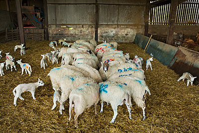 Flock of sheep and newborn lambs with blue numbers painted onto their sides standing in a stable on straw. - p1100m1450914 by Mint Images