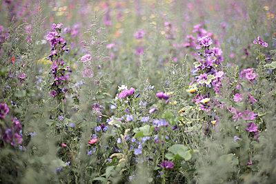 Netherlands, Flower field - p1643m2229391 by janice mersiovsky
