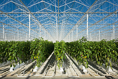 Peppers growing in greenhouse, Zevenbergen, North Brabant, Netherlands - p429m1569708 by Mischa Keijser