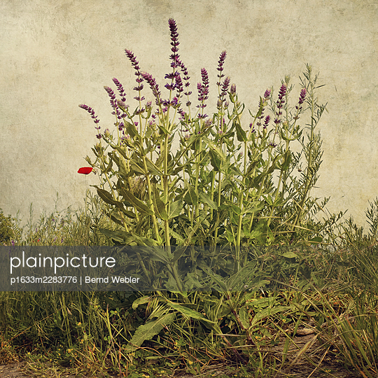 Salvia pratensis - p1633m2283776 by Bernd Webler