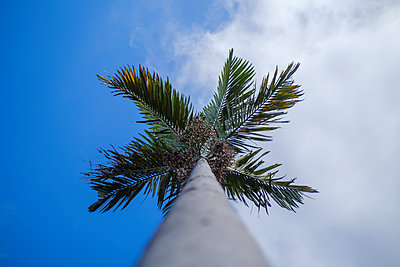 Portugal, Madeira, Palm tree - p1600m2175701 by Ole Spata