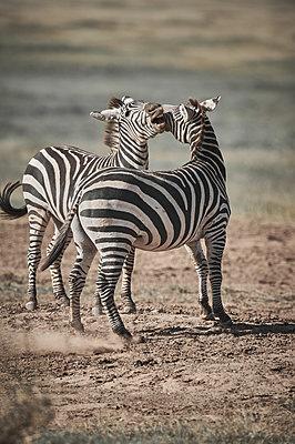 Two zebras play-fighting, Kenya - p706m2158423 by Markus Tollhopf
