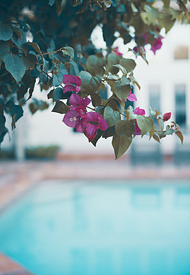 Bougainvillea Plant Overhanging Swimming Pool - p1617m2223551 by Barb McKinney