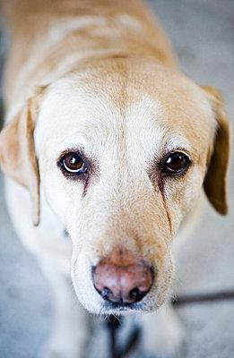 A sad dog, close-up, Sweden. - p31224688f by Ellinor Hall