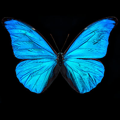 Blue butterfly - p587m2227592 by Spitta + Hellwig