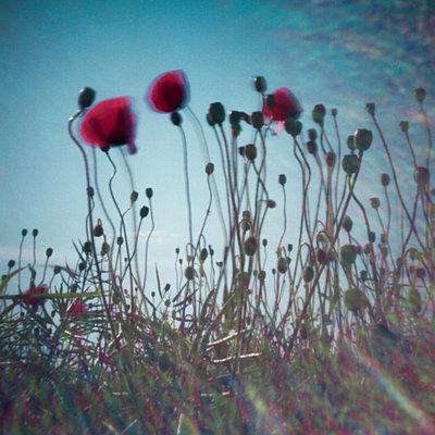 Poppies - p1186m972754 by Christine Henke