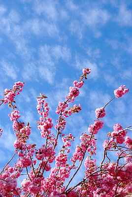 Ornamental pink cherry blossom against blue sky - p5970202 by Tim Robinson