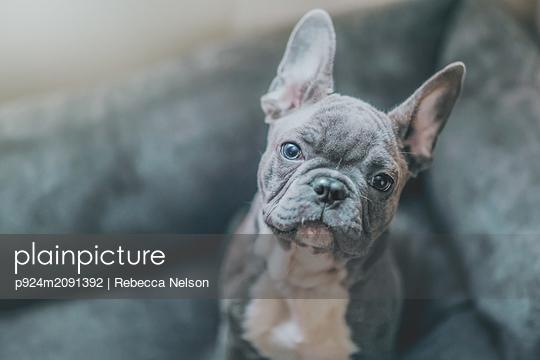 Portrait of French Bulldog puppy - p924m2091392 by Rebecca Nelson