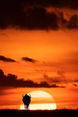 A blue wildebeest (Connochaetes taurinus) is silhouetted against the setting sun on the horizon. It has curved horns and is walking towards the sunset. Shot with a Nikon D850 in the Maasai Mara National Reserve in Kenya in July 2018; Kenya - p442m2037165 by Nick Dale