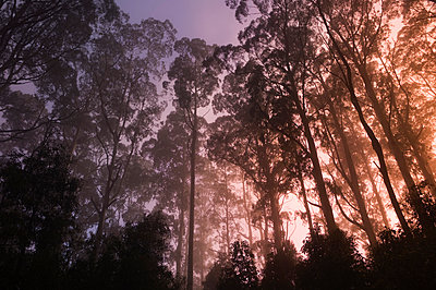 Mountain ash forest and morning fog, Mt. Macedon, Victoria, Australia, Pacific - p871m1073435f by Jochen Schlenker