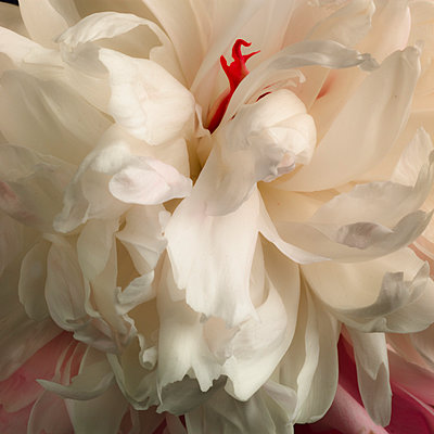 Close-up of White Peony with Red Detail - p694m2068741 by Lori Adams