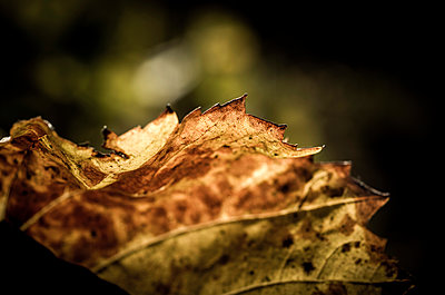 Close-up of vine leaf during autumn - p1166m2060665 by Cavan Social