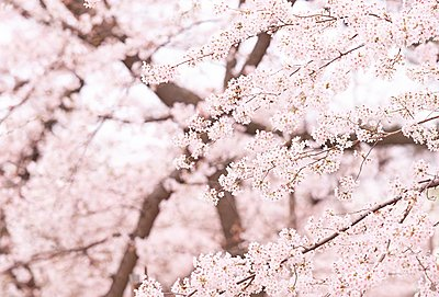 Cherry blossoms - p307m2261399 by Score. by Aflo