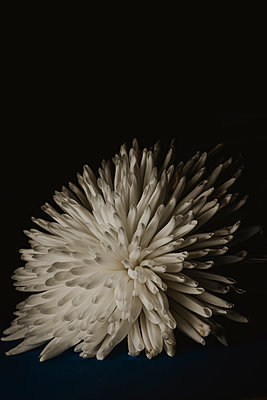 White flower - p1628m2230110 by Lorraine Fitch
