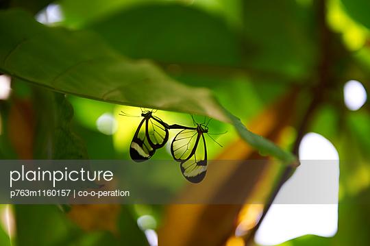 Zwei Schmetterlinge hängen am Blatt - p763m1160157 von co-o-peration
