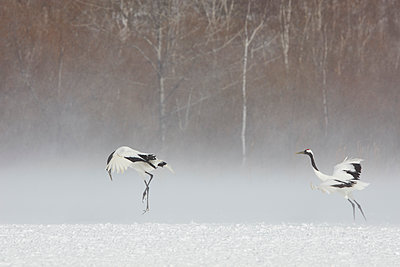 Red-Crowned Cranes, Grus japonensis, standing in the snow in winter. - p1100m1520148 by Mint Images