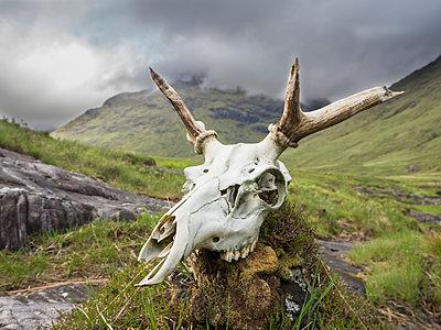 Close-up of deer skull on rock against cloudy sky, Scotland, UK - p300m2144102 by Hubertus Stumpf