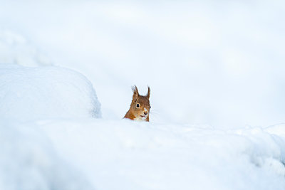 Eurasian red squirrel in snow - p300m2166813 by Mark Johnson