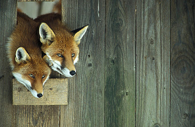 young red foxes - p300m877697 by Erich Kuchling