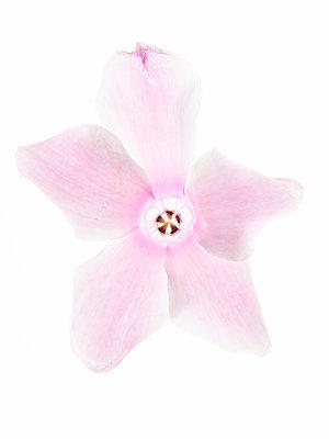 Alpenveilchenblüte - p401m2172882 von Frank Baquet