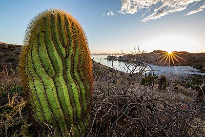 Sunset on an endemic giant barrel cactus  on Isla Santa Catalina, Baja California Sur, Mexico, North America - p871m1082136 by Michael Nolan