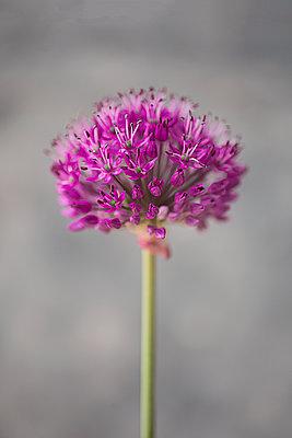 Purple Allium on grey - p1470m1540406 by julie davenport