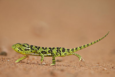 Flap-necked Chameleon Chamaeleo dilepis; Kruger National Park; South Africa; Africa - p871m923532f by James Hager