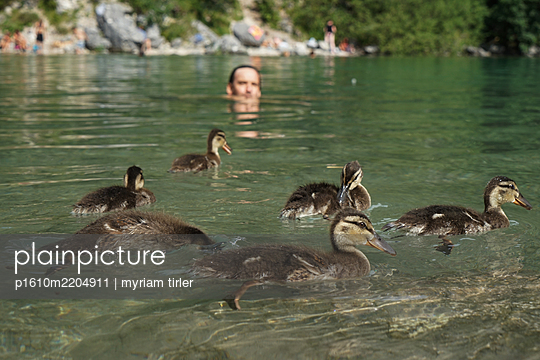 A man swims in a lake in the middle of a duck family - p1610m2204911 by myriam tirler
