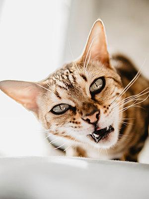 Cat looking at camera  - p1522m2072801 by Almag