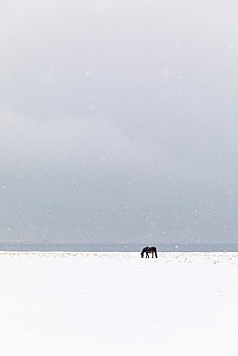 Horse in snow covered field - p352m2120080 by Åke Nyqvist