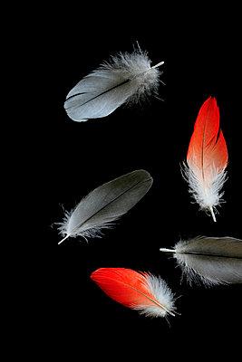 Papageienfedern - p450m916510 von Hanka Steidle