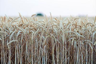 Cornfield right before harvest - p719m1445914 by Rudi Sebastian