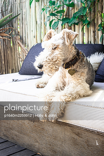 Terrier on sofa - p1640m2259912 by Holly & John