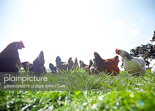 Free range chickens grazing in field - p300m2250273 by LOUIS CHRISTIAN